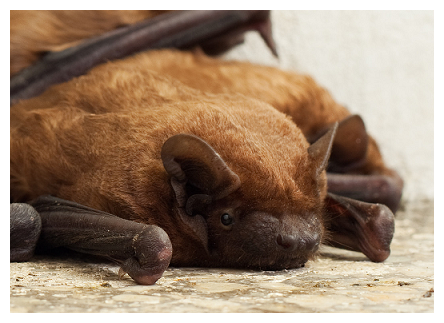 virginia brown bat